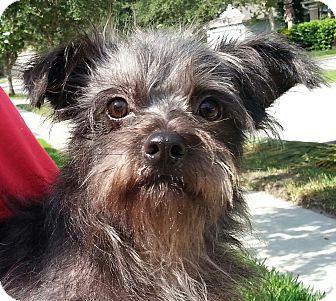 Schnauzer (Miniature)/Yorkie, Yorkshire Terrier Mix Dog for adoption in Orlando, Florida - Jimbo