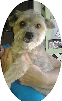 Yorkie, Yorkshire Terrier/Maltese Mix Dog for adoption in Holmes Beach, Florida - Rex