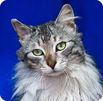 Domestic Mediumhair Cat for adoption in Calgary, Alberta - Bobbert