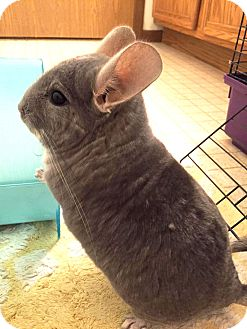 Chinchilla for adoption in St. Paul, Minnesota - Armadillo
