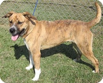 Boxer/Staffordshire Bull Terrier Mix Dog for adoption in Olive Branch, Mississippi - Hannah