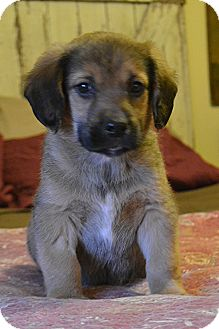Beagle/Labrador Retriever Mix Puppy for adoption in Staunton, Virginia - Mork