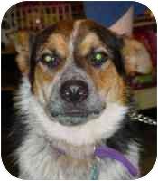 Australian Shepherd/Blue Heeler Mix Dog for adoption in Carrollton, Texas - Champ