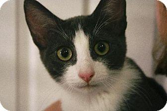 Oriental Kitten for adoption in San Antonio, Texas - Percy