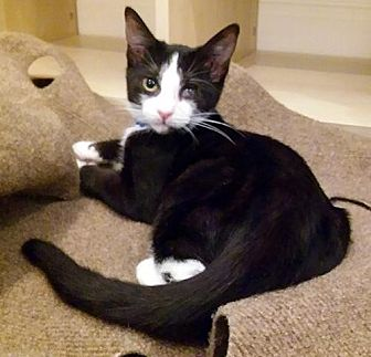 Domestic Shorthair Cat for adoption in Brooklyn, New York - Mounds