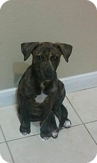 Catahoula Leopard Dog/Black Mouth Cur Mix Puppy for adoption in Houston, Texas - Margot