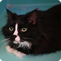 Domestic Mediumhair Cat for adoption in West Des Moines, Iowa - Pepper