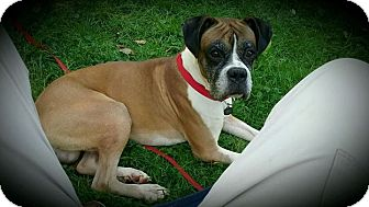 Boxer Dog for adoption in Sharon Center, Ohio - Tanner