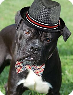 American Bulldog/Pit Bull Terrier Mix Dog for adoption in Manahawkin, New Jersey - Rocky