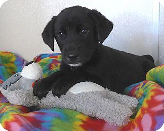 Anatolian Shepherd/Labrador Retriever Mix Puppy for adoption in Manning, South Carolina - Thunder