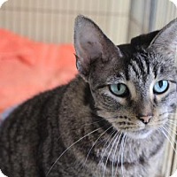 Domestic Shorthair Cat for adoption in Chicago, Illinois - Harper
