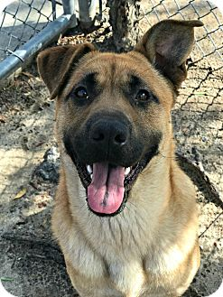 German Shepherd Dog Mix Dog for adoption in Peace Dale, Rhode Island - Toba