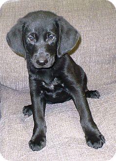 Labrador Retriever/Hound (Unknown Type) Mix Puppy for adoption in Eastpoint, Florida - Todd