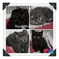 Adopt A Pet :: Mama Mia & Kittens - Marietta, OH