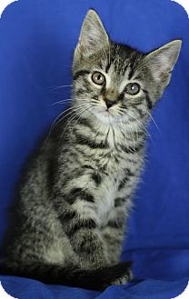 Domestic Shorthair Kitten for adoption in Winston-Salem, North Carolina - Marley