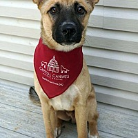 German Shepherd Dog/Labrador Retriever Mix Dog for adoption in Washington, D.C. - King *Has Application*