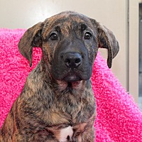 Adopt A Pet :: McDuff - Los Angeles, CA