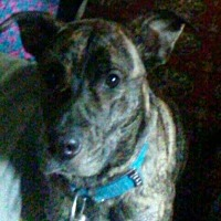 Adopt A Pet :: Gunner in ME Courtesy Post - Providence, RI