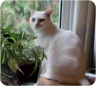 Domestic Shorthair Cat for adoption in Nanaimo, British Columbia - PETRA