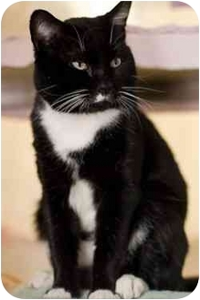 Domestic Shorthair Cat for adoption in Westbrook, Maine - Chester
