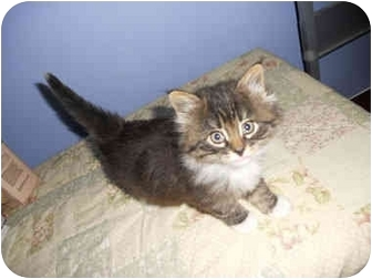 Domestic Mediumhair Kitten for adoption in San Dimas, California - Lily
