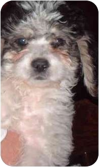 Poodle (Standard) Mix Dog for adoption in San Diego/North County, California - JD