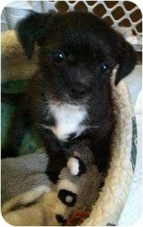 French Bulldog/Terrier (Unknown Type, Medium) Mix Puppy for adoption in Studio City, California - Tabatha