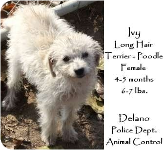 Poodle (Miniature)/Terrier (Unknown Type, Small) Mix Puppy for adoption in Castro Valley, California - Ivy