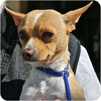 Chihuahua Dog for adoption in Berkeley, California - Sonny