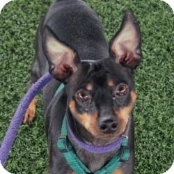 Miniature Pinscher Mix Dog for adoption in Eatontown, New Jersey - Cezar