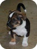 Boxer/Dachshund Mix Puppy for adoption in Allentown, Pennsylvania - Beck