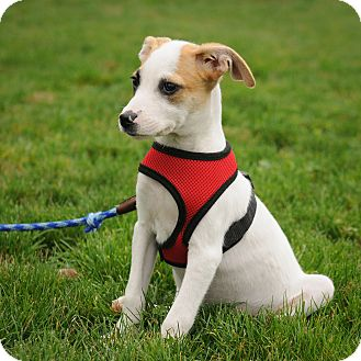Terrier (Unknown Type, Medium)/Hound (Unknown Type) Mix Puppy for adoption in Mt. Prospect, Illinois - Akira