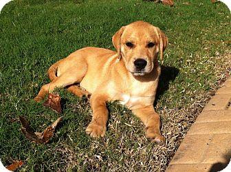 Labrador Retriever/Retriever (Unknown Type) Mix Puppy for adoption in Largo, Florida - Gene