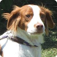 Adopt A Pet :: Brittney - Salem, NH