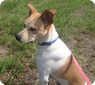 Jack Russell Terrier Mix Dog for adoption in Austin, Texas - Quigley In San Antonio