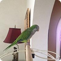 Adopt A Pet :: Ringo - St. Louis, MO