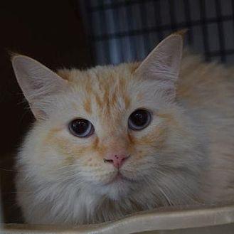 Siamese Cat for adoption in Denver, Colorado - Ginger