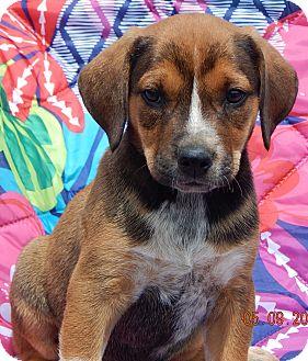 Shepherd (Unknown Type)/Blue Heeler Mix Puppy for adoption in Niagara Falls, New York - Raider (8 lb)