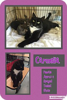 Domestic Mediumhair Cat for adoption in CLEVELAND, Ohio - Carmella