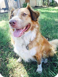 Nova Scotia Duck-Tolling Retriever Mix Dog for adoption in Austin, Texas - Windy Gale