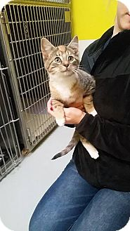 Domestic Shorthair Kitten for adoption in Adrian, Michigan - Carrie