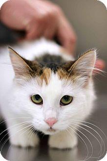 Domestic Mediumhair Cat for adoption in New Prague, Minnesota - Getty