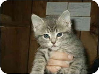 Domestic Shorthair Kitten for adoption in Mason City, Iowa - Elizabeth