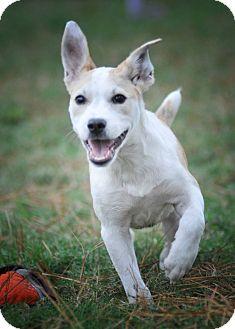 Parson Russell Terrier/Labrador Retriever Mix Puppy for adoption in Gorham, Maine - Inga
