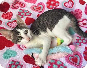 Domestic Shorthair Kitten for adoption in Tampa, Florida - Mulan