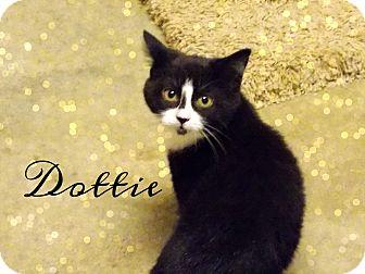 Domestic Shorthair Cat for adoption in Defiance, Ohio - Dottie