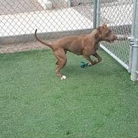 Adopt A Pet :: SCARLETT - Chandler, AZ