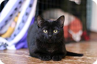 Domestic Shorthair Cat for adoption in New Prague, Minnesota - Fudge