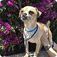 Adopt A Pet :: Arnold - Costa Mesa, CA