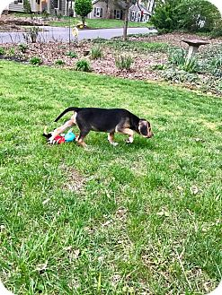 Beagle Mix Puppy for adoption in Plainfield, Connecticut - Bob (RBF)